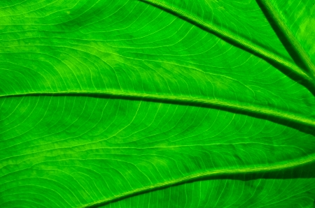 cloesup: veins of taro leaf, cloesup abstract background