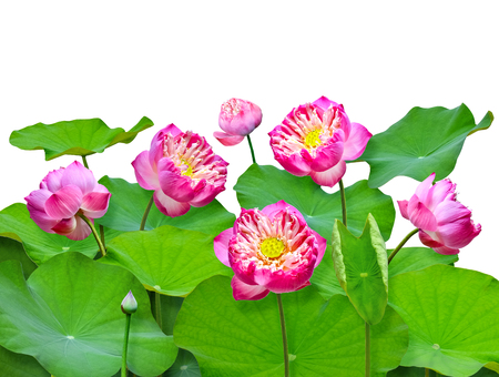 LOTUS  isolated on white background