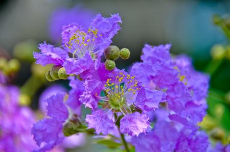 Lagerstroemia loudoni,mauve flowers Stock Photo