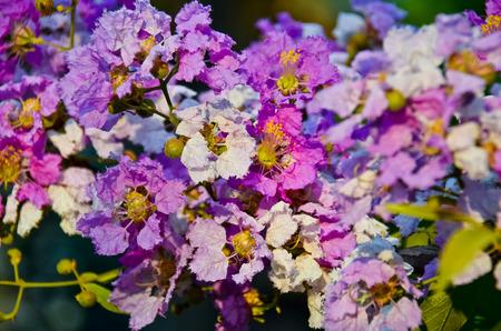 mauve: Lagerstroemia loudoni,mauve flowers Stock Photo