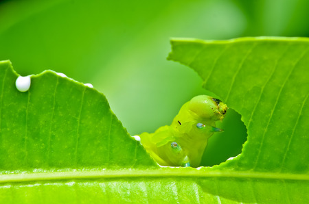 insecta: Caterpillars was eating the fresh leaves