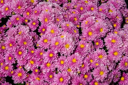 couleurs vives: Bright colors of chrysanthemum Banque d'images