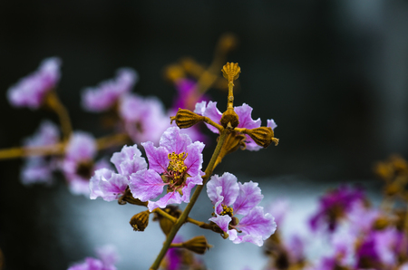 pers: Close up to Crape Myrtle flower Stock Photo