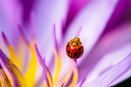 sepals: The water lily blooming with a ladybug