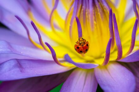 lady beetle: The water lily blooming with a ladybug