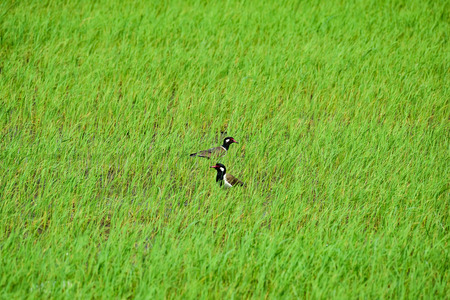 to woo: Two Red wattled lapwing woo each other in the rice field.