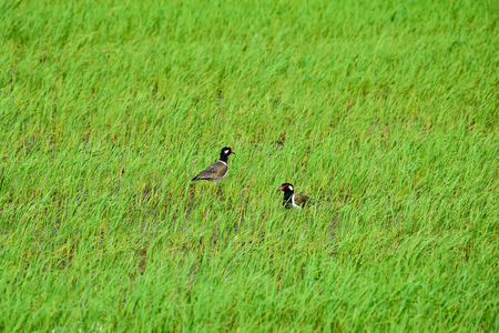 lapwing: Two Red wattled lapwing woo each other in the rice field.