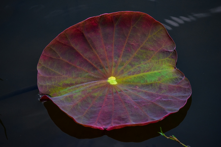 morass: lotus are put forth fresh leaves A beautiful red color on Stillwater to the original.