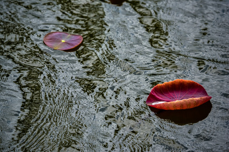 forth: lotus are  put forth fresh leaves A beautiful red color on Stillwater to the original.