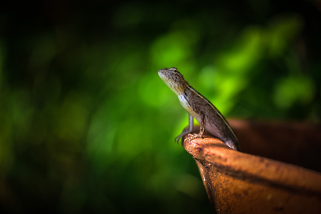 a chameleon standing in clay pots.Looking for something in the garden