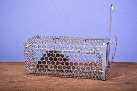 tempt: Rat caught in a trap