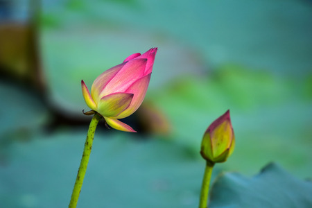 morass: beautiful lotus in the pond with nature background