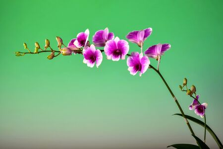 efflorescence: beautiful Orchid bouquet on green backgroung.blank space to put the text