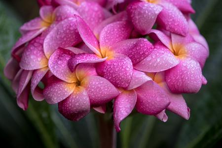 the beautiful pink plumeria refreshing. Stock Photo