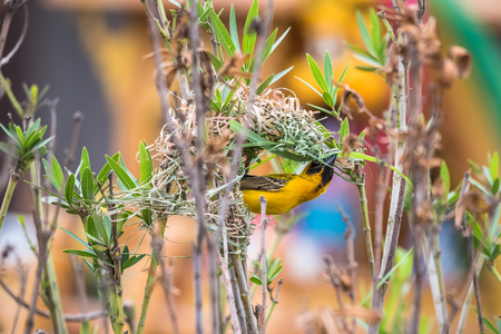 Asian Golden Weaver are nesting on natural branches. Stock Photo