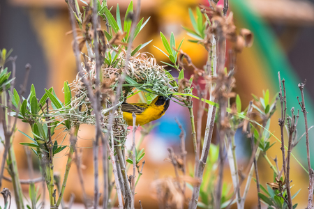WEAVER: Asian Golden Weaver are nesting on natural branches. Stock Photo