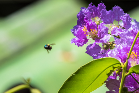 The bees fly around the flower to find nectar Lagerstroemia blooming in nature Stock Photo