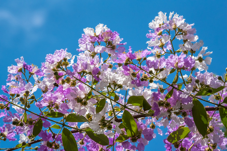 The Lagerstroemia are Beautiful pink flowers blooming in nature