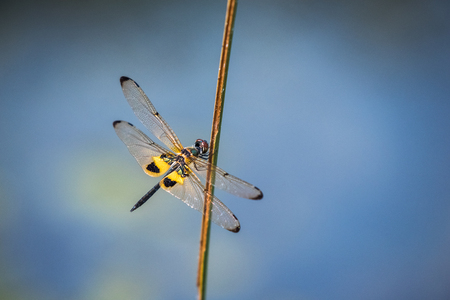 zygoptera: Dragonfly resting on a branch. Rhyothemis phyllis phyllis
