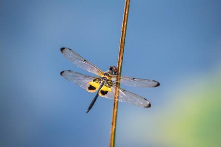 Dragonfly resting on a branch. Rhyothemis phyllis phyllis