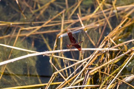 A dragonfly resting on a branch. Neurothemis fluctuans 版權商用圖片