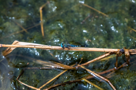 A dragonfly resting on a branch. Acisoma panorpoides