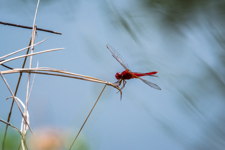 dragonfly resting on a branch. Crocothemis servilia