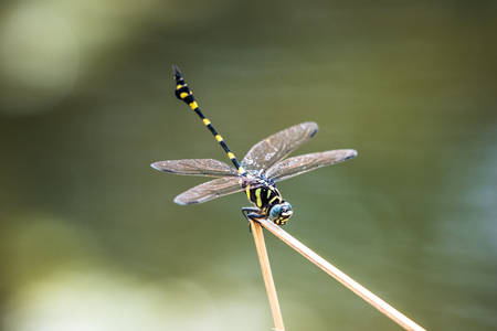 A dragonfly resting on a branch. Ictinogomphus decoratus 版權商用圖片