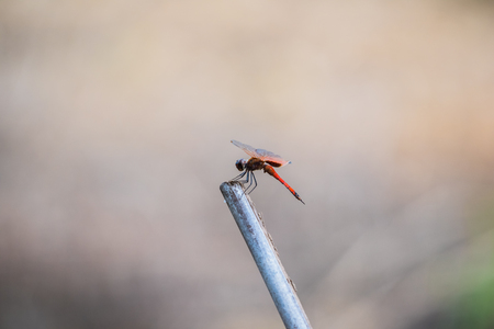 A dragonfly resting on a branch. Tramea transmariana