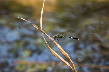 A dragonfly resting on a branch.Orthetrum Sabina (Green Tiger Skimmer)
