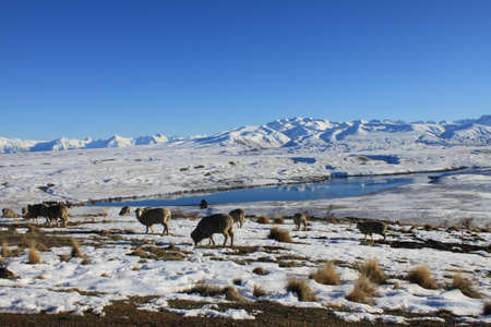 sheep grazing photo