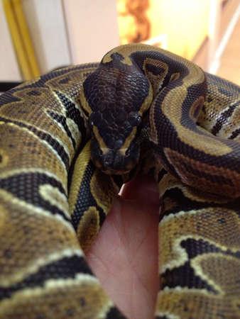 royal python: Het caramel albino royal python