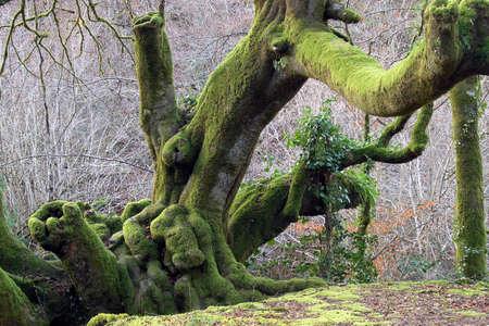 centenary: Centenary oak tree Stock Photo