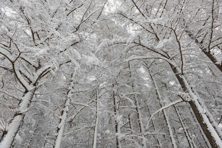 snow forest: Snow forest