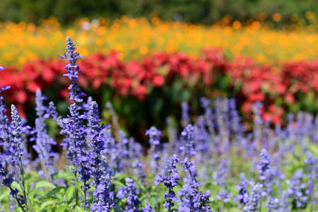 korat: Angelonia and colorful flowers in a big park, Korat Thailand Stock Photo