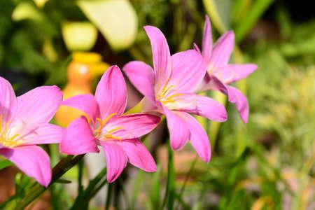korat: Morning - Beautiful rain lily flower. Zephyranthes Lily, Korat Thailand.