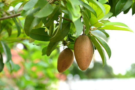 exceptionally: Sapodilla on tree in an organic garden. Other names - Lamut in Thailand. Sapodilla is a tropical, evergreen tree fruit (berry) with exceptionally sweet and malty flavor. Stock Photo