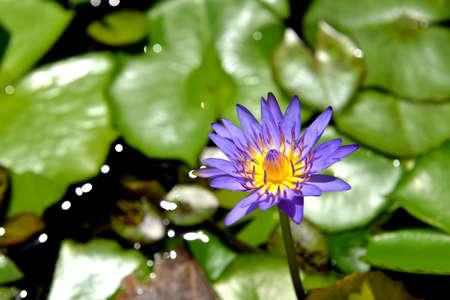 korat: Purple lotus blossom, Korat Thailand. Stock Photo