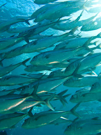 tresure: school of jackfish waiting around coral reef for hunting time. it alway believe in group for alive.