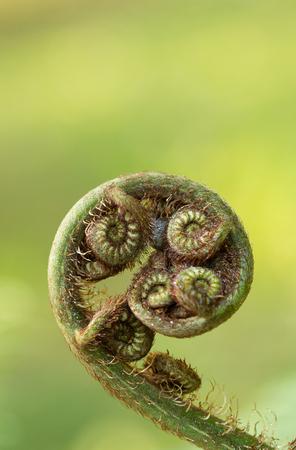 silver fern: fern new leaf forest nature green tree curl plant summer