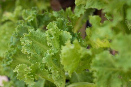 botanical farms: vegetable organic garden background agriculture texture salad farm leaf