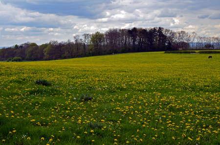 west sussex: Dandelion field in West Sussex England during Spring.