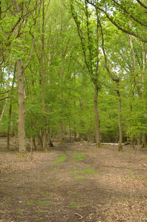 glade: Woodland glade in Sussex England.