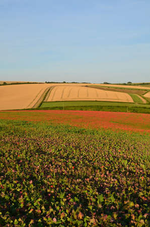 Wild red poppies on the Sussex South Downs Banco de Imagens