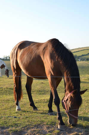 Horse grazing on the Sussex South Downs.
