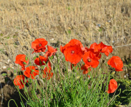 Wild red poppies in a English wheat field.