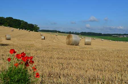 Wild red poppies in a Sussex hay field. Banco de Imagens