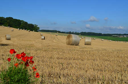 hay field: Wild red poppies in a Sussex hay field. Stock Photo