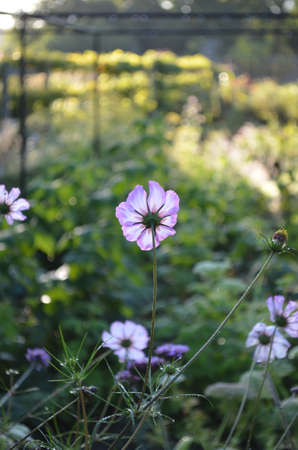 daydream: Cosmos daydream flower. Stock Photo