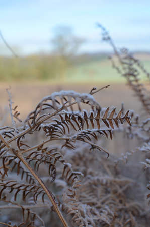Frost covered fern in the English countryside. Banco de Imagens